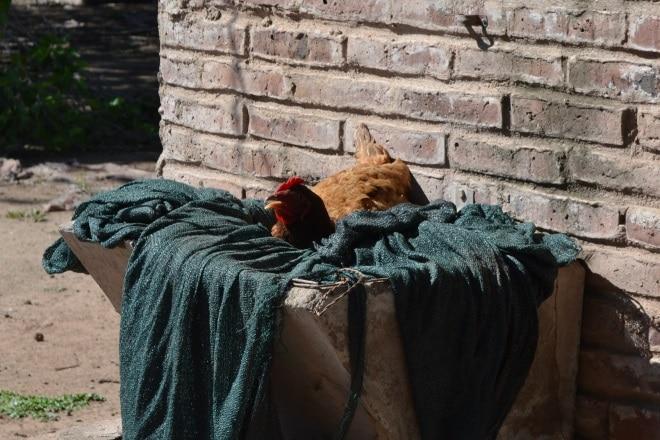 el-rebenque-galinha-1