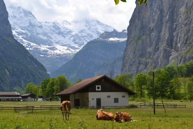 Lauterbrunnen cows